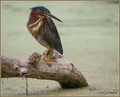 Green Heron 0652