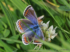 Common Blue ( female)