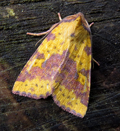 Pink-barred Sallow Xanthia togata Tophill Low NR, East Yorkshire September 2017