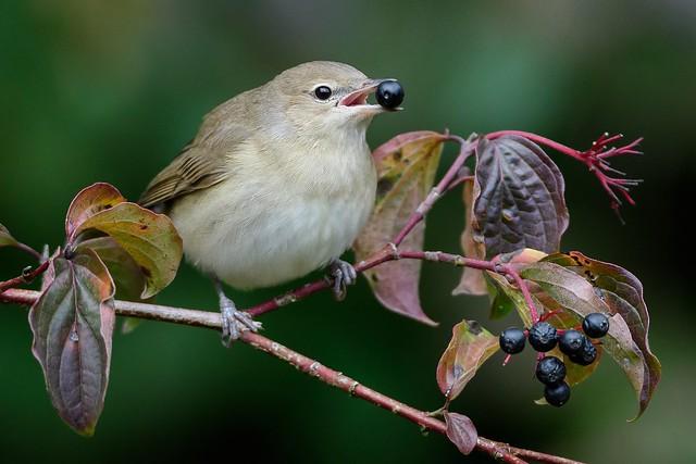 Garden warbler Gartengrasm cke, Nikon D500, AF-S Nikkor 600mm f/4D IF-ED II