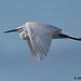 little egret 55 2017 in flight