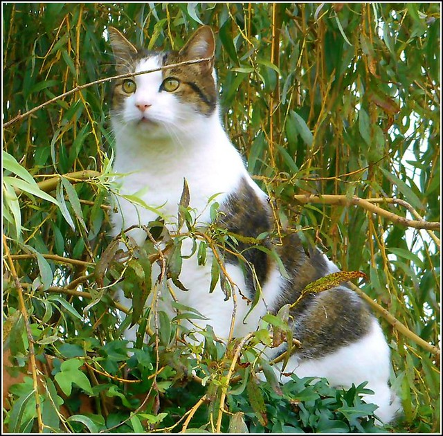 Cat in a Willow Tree ..