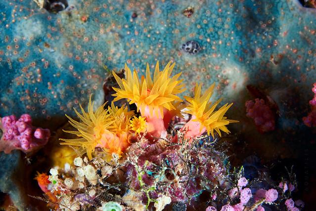 Tubastrea sp. - Sun cup coral