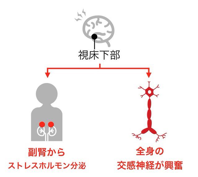 視床下部から副腎、交感神経へ