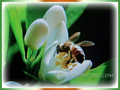 Honey bee attracted to the highly scented flower of Citrus x paradisi (Grapefruit, Paradise Citrus), 22 Aug 2017