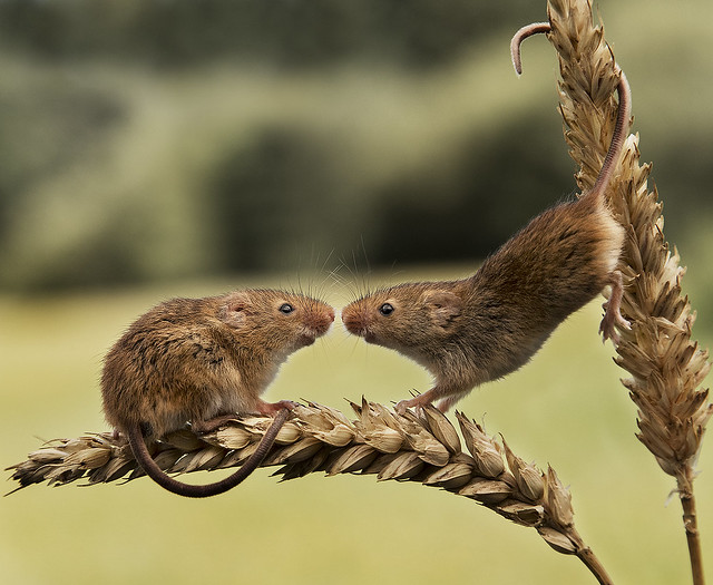 Harvest Mice, Canon EOS-1D X MARK II, Canon EF 24-105mm f/4L IS