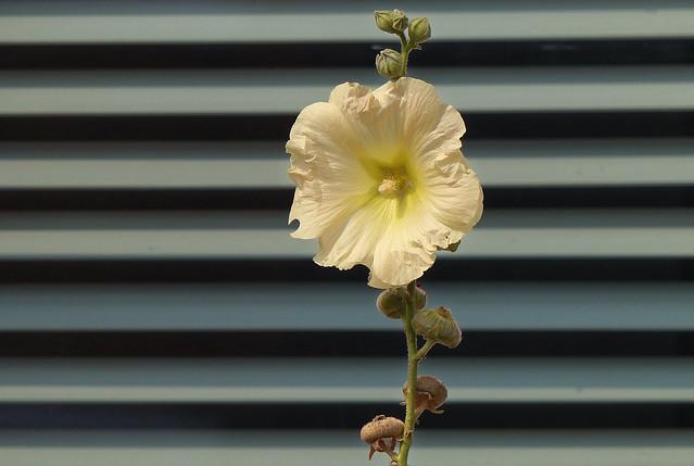Le volet fleuri - The floral shutter