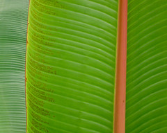 Close-up of banana tree