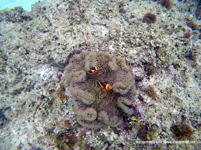 Clown Fish at Paradise Beach El Nido