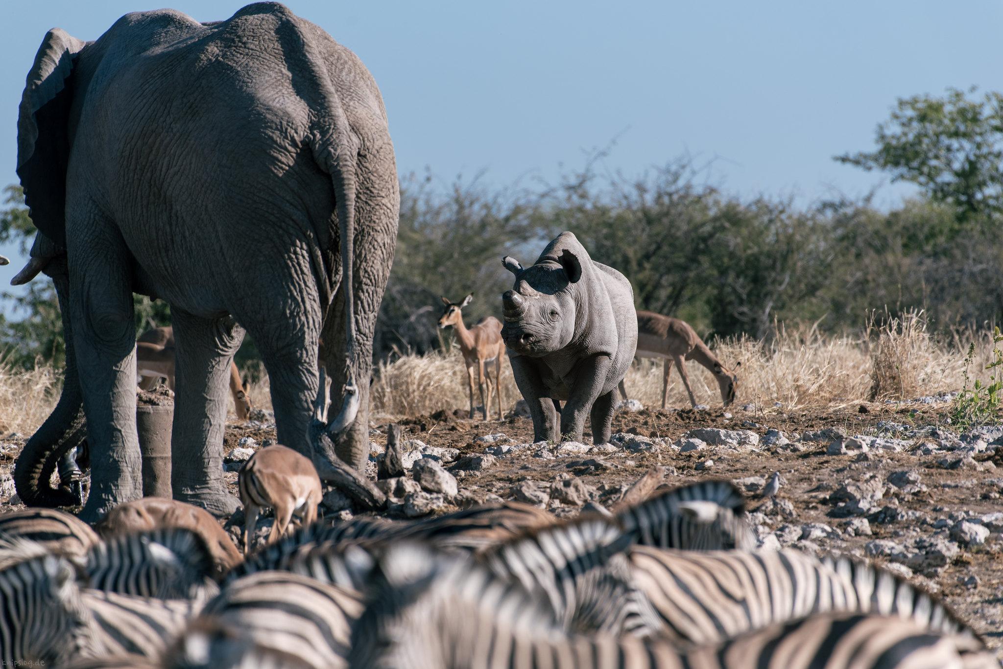 Rhino vs. elephant