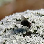 Insectos en las lagunas de La Guardia (Toledo) 20-8-2017