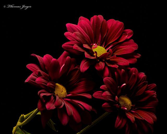 Three Red Mums 0805 Copyrighted