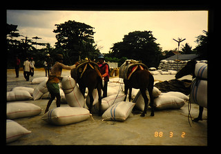 Transportation Of Harvested Rice To The Drying Yard By Horses = 馬を利用した収穫籾の共乾施設への搬入
