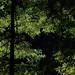 Light Through the Redwoods 1