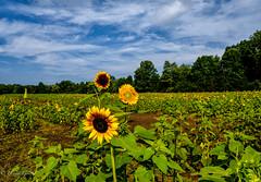 Burnside Farms Sunflower Field
