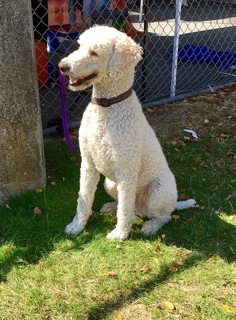 Doggie (Golden Doodle) at the Saturday market
