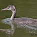 GREAT  CRESTED  GREBE  (Juv)  //  PODICEPS  CRISTATUS  (46-51cm)