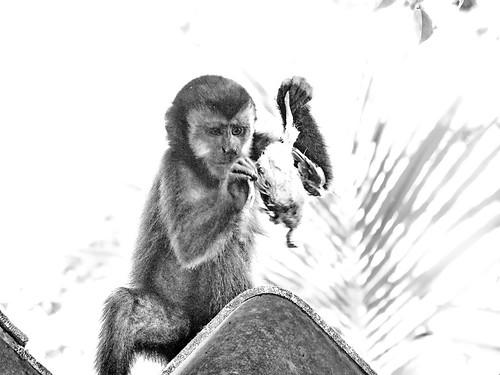 Macaco-prego e a pomba