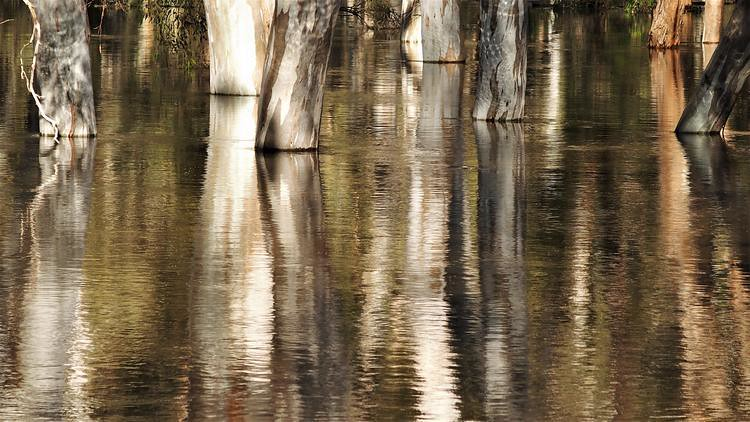 Tree reflections in the Edward River floodwaters, Deniliquin, New South Wales