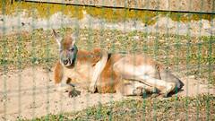 Kangourou relax