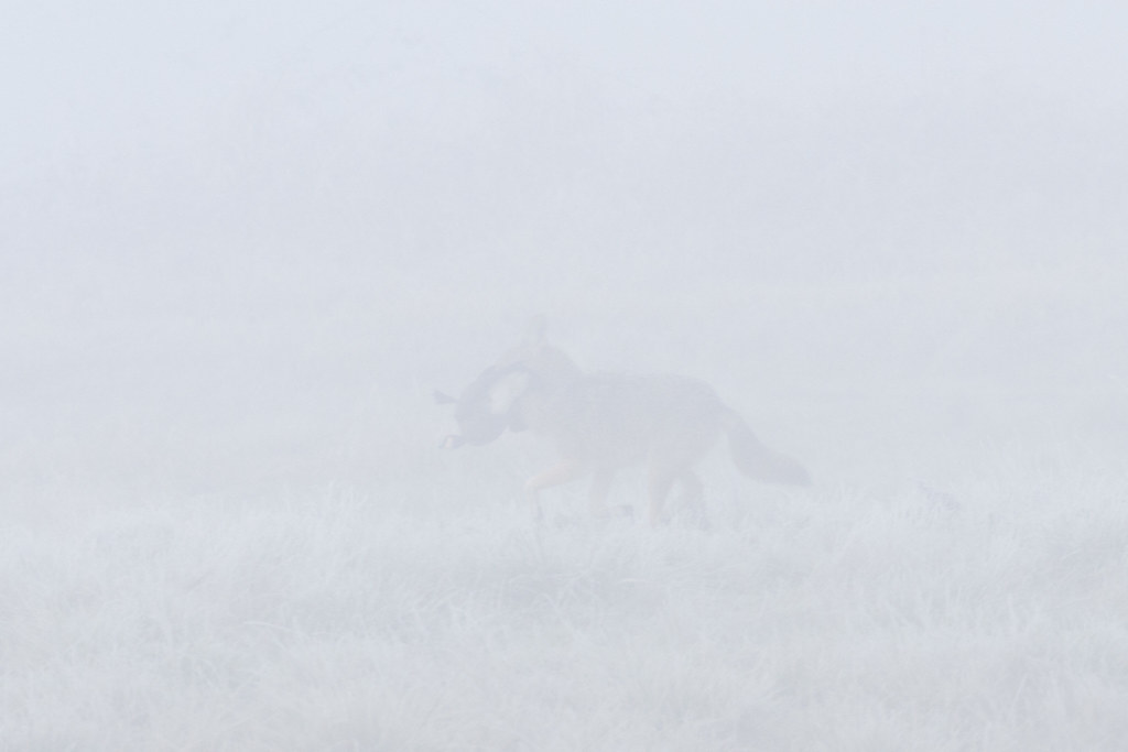 A coyote runs past in a frosty meadow, obscured in heavy fog, with a cackling goose in its mouth