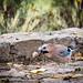 Small photo of Eurasian Jay with walnut