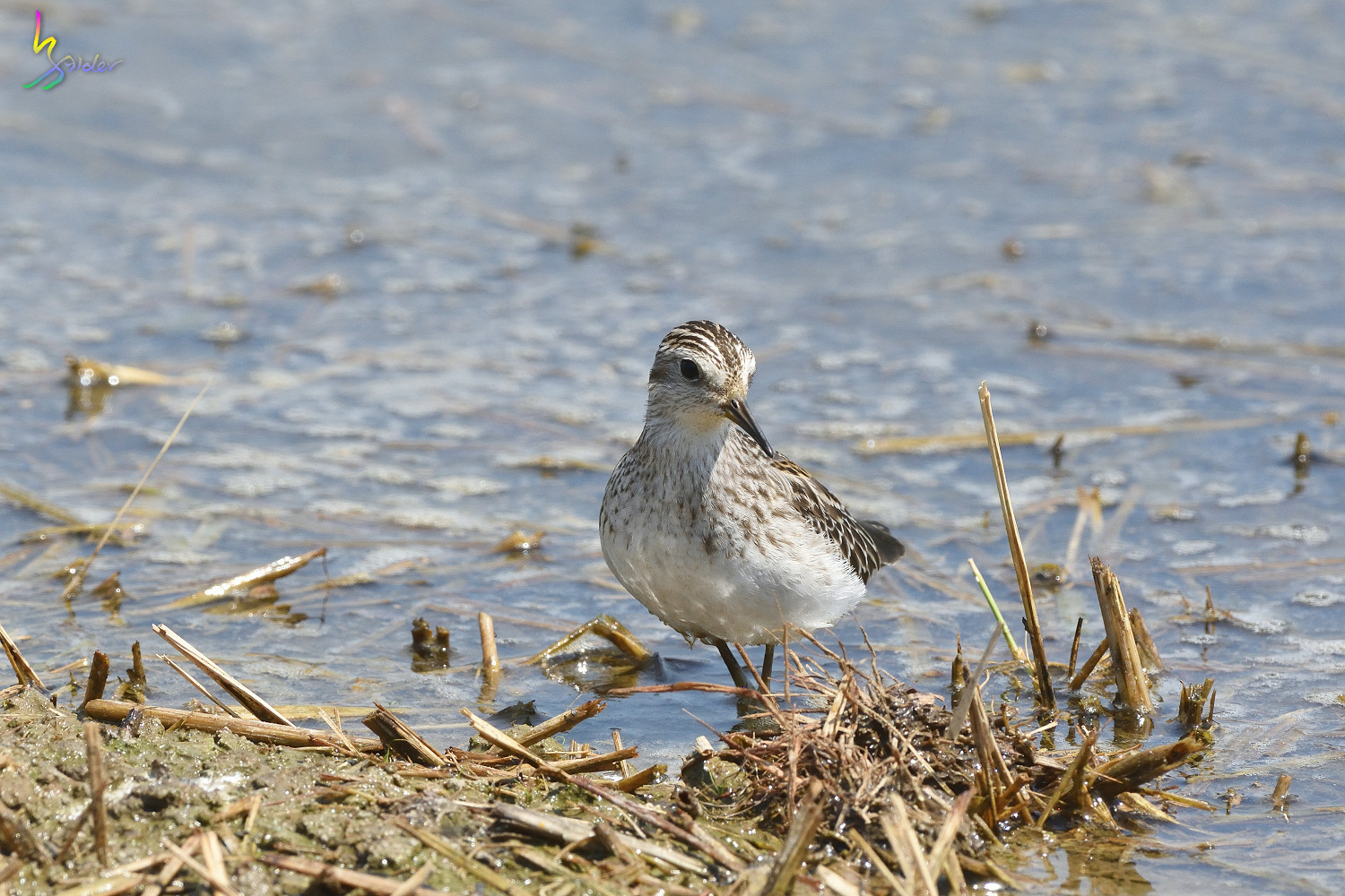 Long-toed_Stint_8305