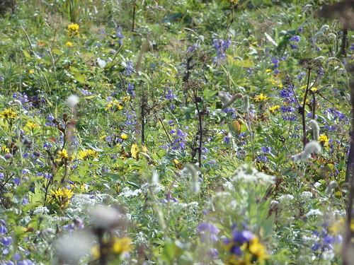 礼文島は花で有名。だけど詳しくないので分からない。