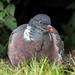Wood Pigeon  -  Ringeltaube