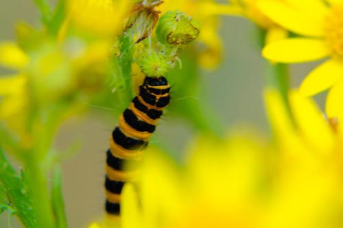 Ragwort with cinnabar moth caterpillars, again