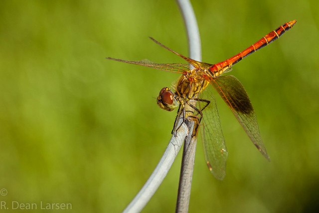 Dragonfly on the Tomato, Canon EOS 7D MARK II, Sigma 18-250mm f/3.5-6.3 DC OS HSM