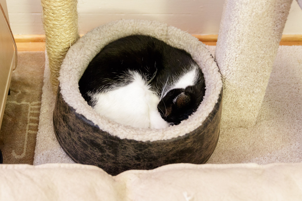 Our black-and-white cat Boo curls up in a circle in the cat bed