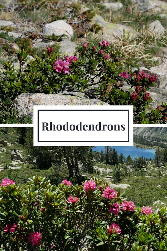 08-Rhododendrons