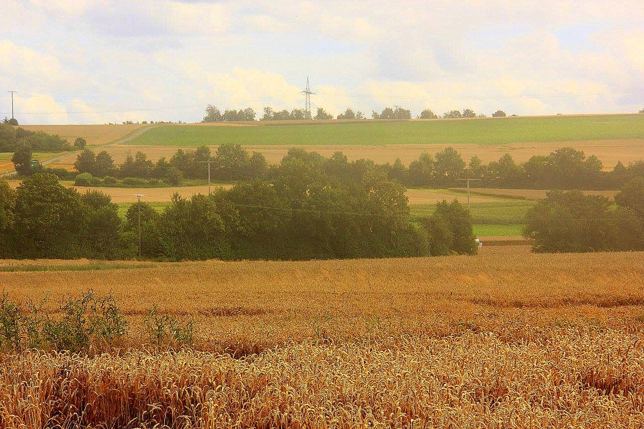 Summer corn fields ready for harvest in Germany