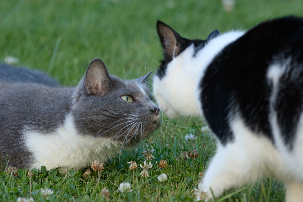 Our cats Scout and Templeton sniff noses while in our backyard