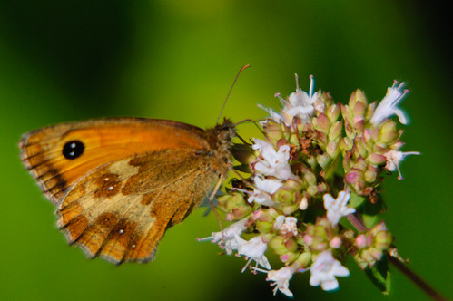 Gatekeeper butterfly on thyme flower