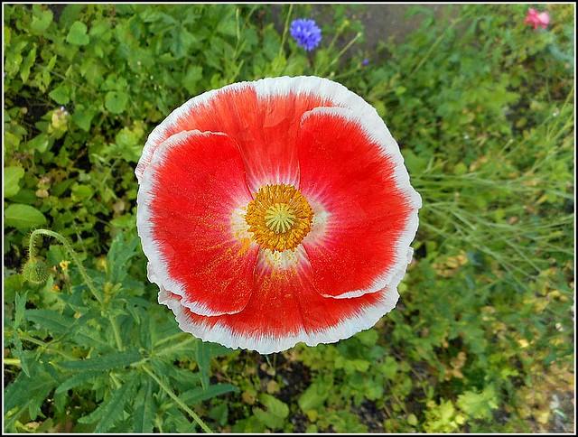 Red Poppy..