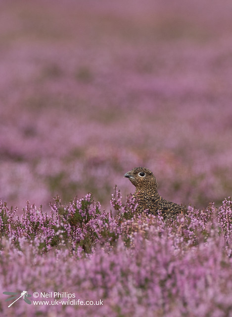 Red grouse-3