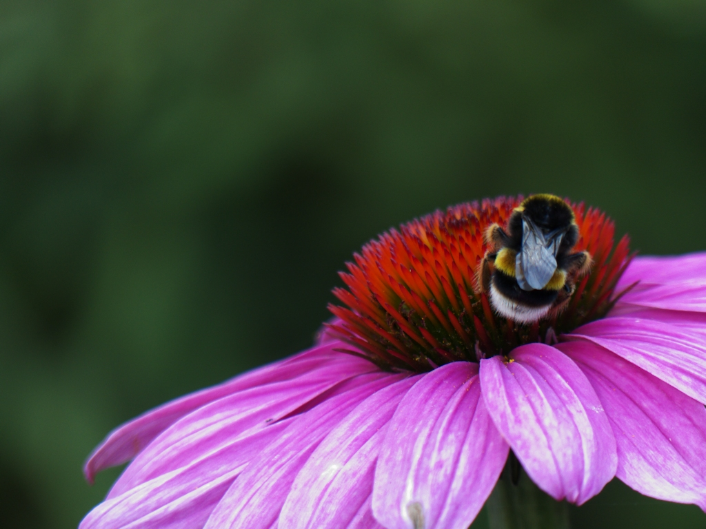 Blume mit Hummel / Flower with bumblebee