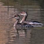 Selección de fauna de las lagunas de La Guardia (Toledo) III