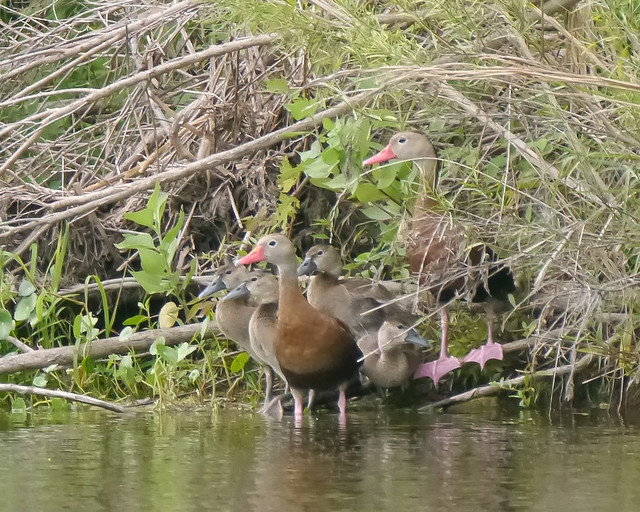 Black-bellied Whistling Duck Family - 2