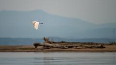 Grande aigrette / Great Egret [Ardea alba]