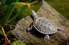 Geoffroy's Side-necked Turtle (Phrynops geoffroanus) (captive specimen)