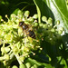 Hoverflies on the ivy flowers.