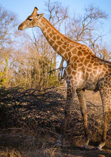Golden Giraffe, Nikon D810, AF-S Nikkor 200-500mm f/5.6E ED VR