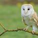 Barn owl on branch 2 19.08.17