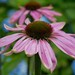2017 08 05 - pink echinacea 3a