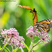 Monarch Photobomb (20170820-DSC07151)