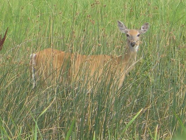White Tailed Deer - Quivira KS
