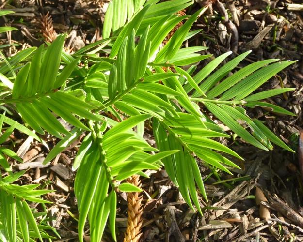 Amentotaxus argotaenia 36878739591_6c1224bd19_o
